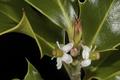 Ilex.aquifolium.11.png