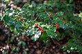 Ilex aquifolium fruits 4.jpg