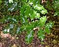 Ilex aquifolium in Jardin botanique de la Charme 02.jpg