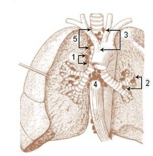 Tracheobronchial lymph nodes - Image: Illu lymph chain 05