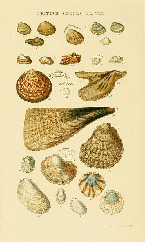 Illustrated Index of British Shells Plate 08.jpg