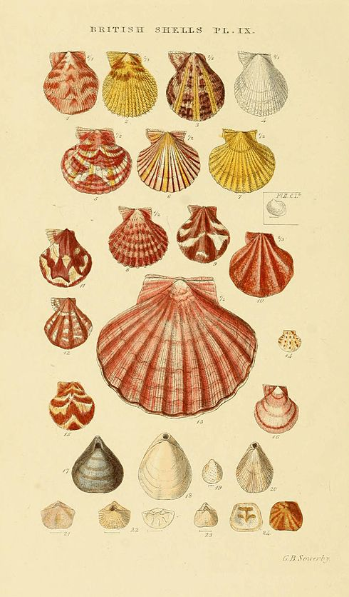 Illustrated Index of British Shells Plate 09.jpg
