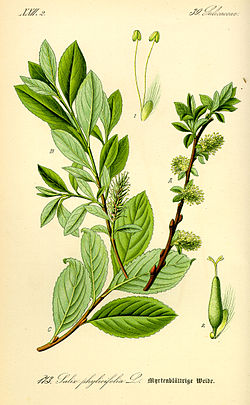 Illustration Salix bicolor0.jpg