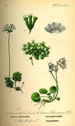 Illustration Soldanella alpina0.jpg