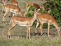 Impala females close up (8254901931).jpg