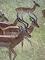 Impalas - Mikumi National Park - Tanzania (8892718415).jpg