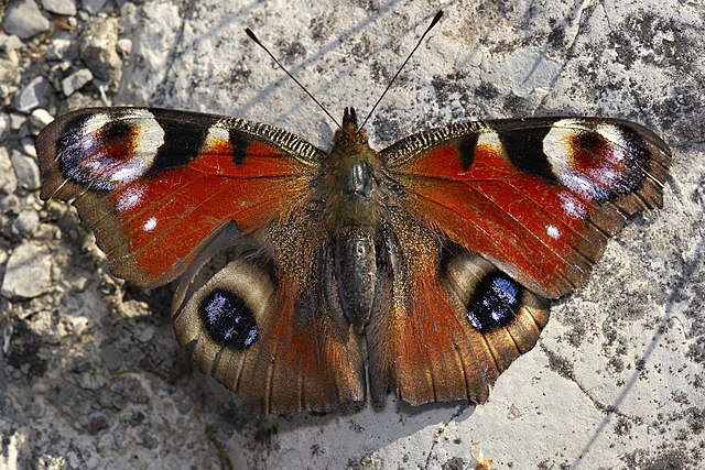 butterfly imago
