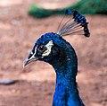 Indian-peacock-head.jpg