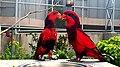 Indian Parrots.jpg