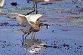 Indian Pond Heron (23242056703).jpg