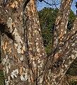 Indian gooseberry bark.jpg
