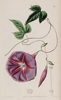 Ipomoea batatoides Edwards's Bot. Reg. 27. 36. 1841
