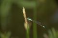 Ischnura elegans C-M.png