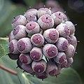 Ivy berries (50893741951).jpg