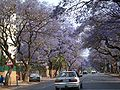 Jacaranda-trees-pretoria.jpg