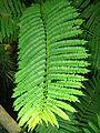 Jacaranda mimosifolia PAN leafs (edit).jpg