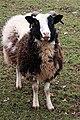 Jacob Sheep, Shortwood - geograph.org.uk - 1347424 (cropped).jpg