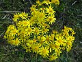 Jacobaea vulgaris DK14.jpg
