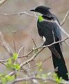 Jacobin Cuckoo (Clamator jacobinus) (31023298595).jpg