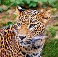 Jaguar (5589279007).jpg