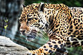 Jaguar Walking Across Rocks (17525577063).jpg