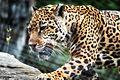 Jaguar Walking Across Rocks (17525577063).jpg