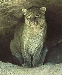 Puma Wikipedia Wolna Encyklopedia