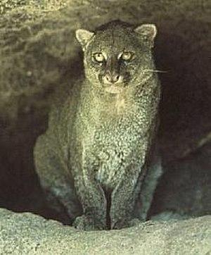 Felinae - Jaguarundi (Puma yagouaroundi)