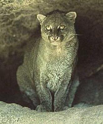 Felinae - Jaguarundi (Herpailurus yagouaroundi)