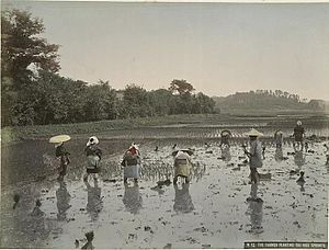 Agriculture in the Empire of Japan - Rice planting in 1890s. Scenes like this remained virtually unchanged until the 1970s in some parts of Japan.