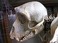 Japanese Macaque Skull Nagano.jpg