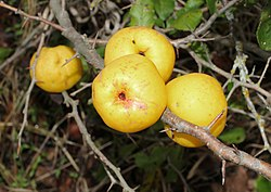 Japanese quince fruit 2015 G1.jpg