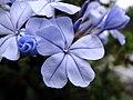 Jazmin azul (6330146898).jpg