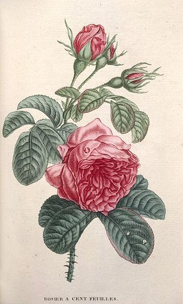 File:Jean Henri Jaume Saint-Hilaire, Rose.jpg
