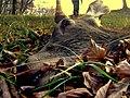 Jeleň - panoramio.jpg