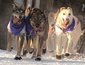 Jessie Royer's lead dogs (8530615580).jpg