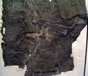 Theropoda - Specimen of the troodontid Jinfengopteryx elegans, with seeds preserved in the stomach region