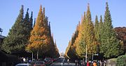 Ginkgo-Allee in Tokyo, im November mit Herbstfärbung.