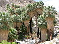 Joshua Tree National Park - 49 Palms Oasis - 02.jpg