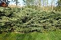Juniperus chinensis 'Hetzii' kz01.jpg