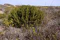 Juniperus turbinata842.jpg