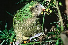 Kakapo Trevor feeding on poroporo fruit.jpg
