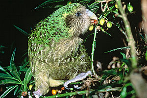 Kakapo - Feeding on poroporo fruits, Maud Island