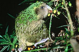 Kakapo - Feeding on poroporo fruits, Maud Island