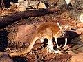 Kangaroo (2208749048).jpg