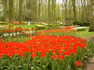 Tulip flowers at the Keukenhof garden - Lisse,...
