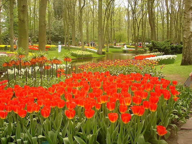 File:Keukenhof tulips.JPG