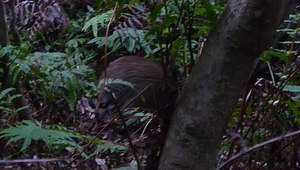 File:Kiwi feeding in fern mason bay nz.ogv