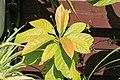 Kluse - Persea americana - Avocado 01 ies.jpg