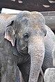 Knie's Kinderzoo Rapperswil - Elephas maximus 2010-09-26 15-31-18.JPG